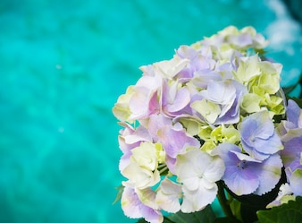 Purple white Hydrangea Paniculata Limelight flowers with blue water background.