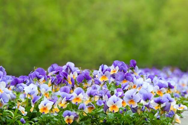 A  of purple and white pansies