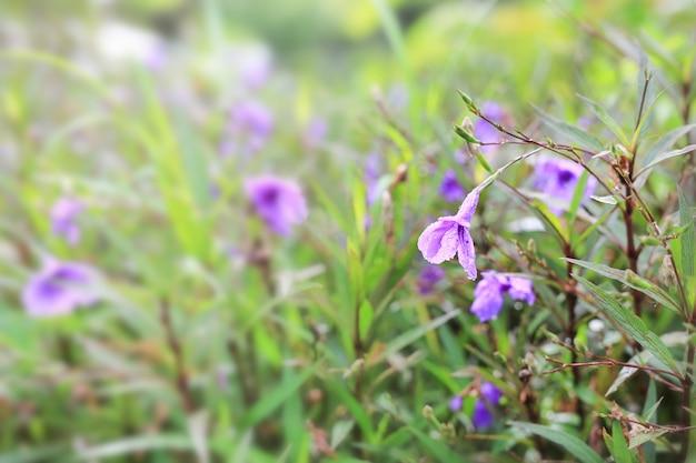 Purple wild flower with rain drop in the garden.