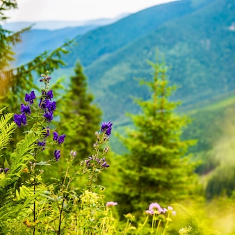 Purple wild flowers in the mountains. green hills on background