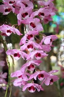 Purple wild orchid, thailand