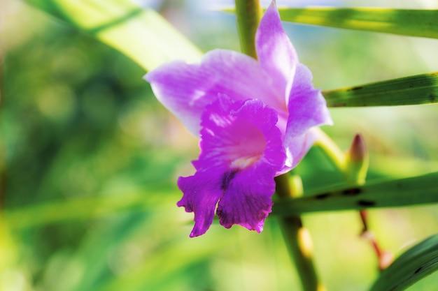 자연의 아름다움을 가진 보라색 야생 난초.