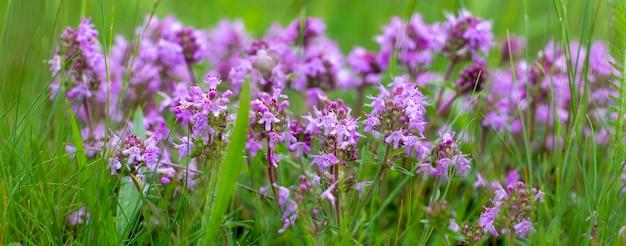 紫色の野花は、異なる草の間の畑で育ちます