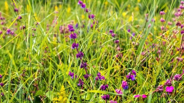 緑の草の間の牧草地に咲く紫の野の花。夏の背景