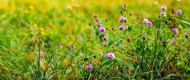 緑の草の間の牧草地に咲く紫の野の花。