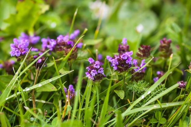 Фиолетовые полевые цветы на летнем поле