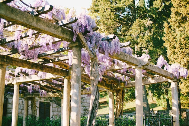Purple wisteria flowers on an arch with wooden beams on stone pillars in a courtyard with a gate