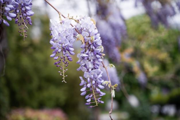 Фиолетовые цветы глицинии весной