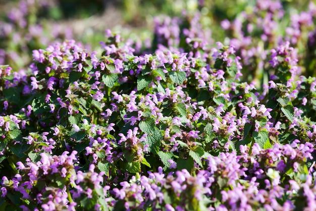 緑の草、春または夏のフィールドで野生の花の種と紫