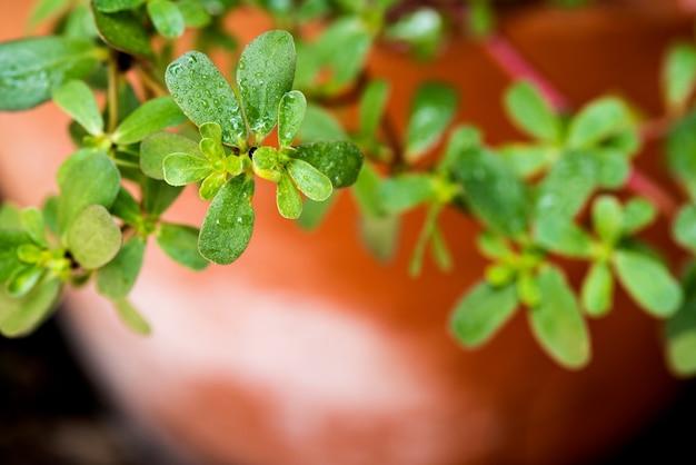 Purslane branch green leaves on natural background.