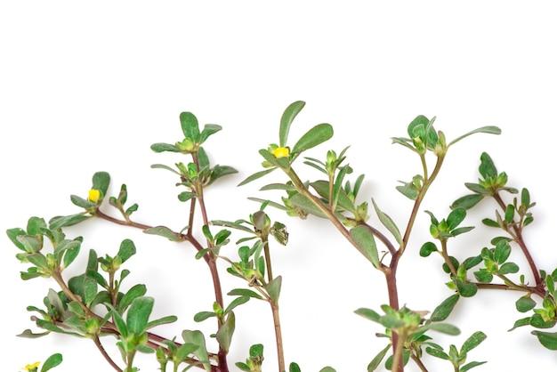 スベリヒユまたはスベリヒユの枝の花と緑の葉が白い背景で隔離。上面図、フラットレイ。