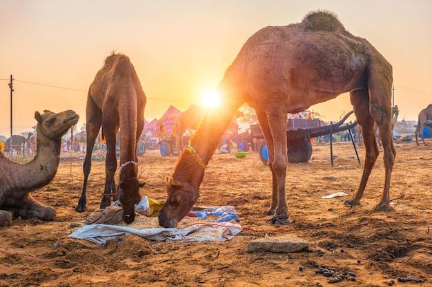 日没で噛んで食べるフィールドでプシュカルメララクダフェアフェスティバル。インド、ラジャスタン州プシュカル