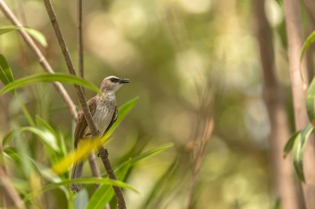 小枝にとまる黄色のヒヨドリ、pycnonotus goiavier。インドネシアのバリ。