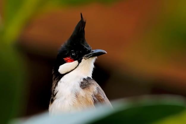 赤いひらめかされた昆虫pycnonotus jocosusタイの美しい鳥