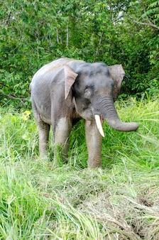 キナバタンガン川のピグミー象