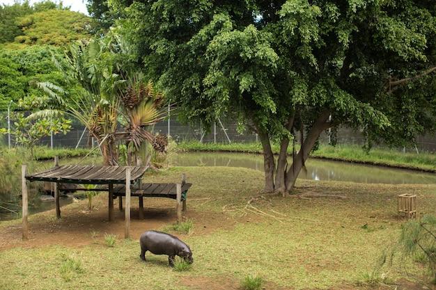 Карликовый бегемот в лесу