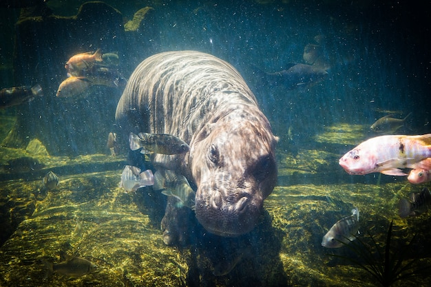Пигмейские бегемоты под водой