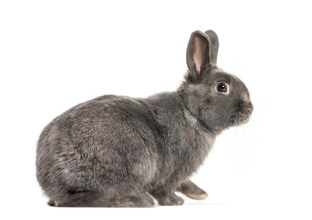 白い背景の前にピグミーウサギ