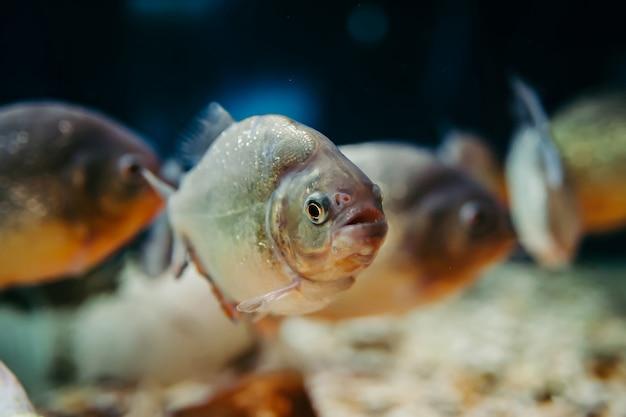 Несколько пираньи в аквариуме. pygocentrus nattereri.