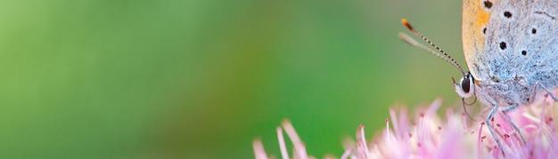 분홍색 인동덩굴 꽃에 있는 철탑 나비. 클로즈업, 매크로입니다.