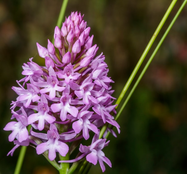 The pyramidal orchid (anacamptis pyramidalis) is a plant belonging to the orchidaceae family. it is widespread in central and southern europe. it is quite common throughout italy.