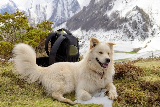 Pyrenean mountain dog,  snow background