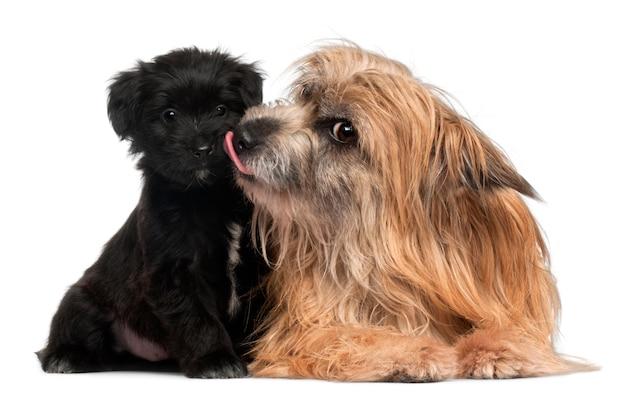 ピレネーシェパードと子犬の舐め、3歳と6週齢、