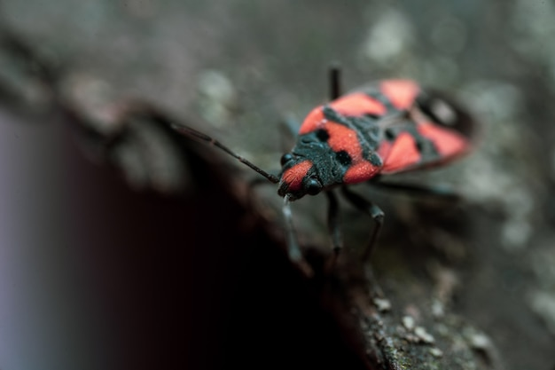 Pyrrhocoris apterusは木の樹皮の上に座っています