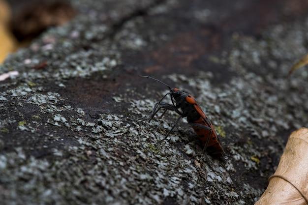 Pyrrhocoris apterusは、木の葉に沿って移動します