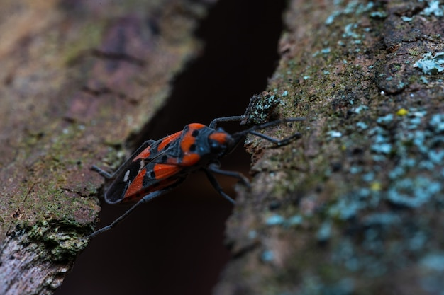 Pyrrhocoris apterusは木の樹皮を横切る