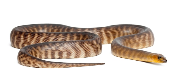 Python、aspidites ramsayi、白い表面に対して