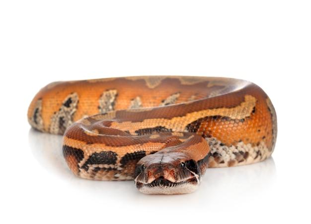 Python brongersmai isolated