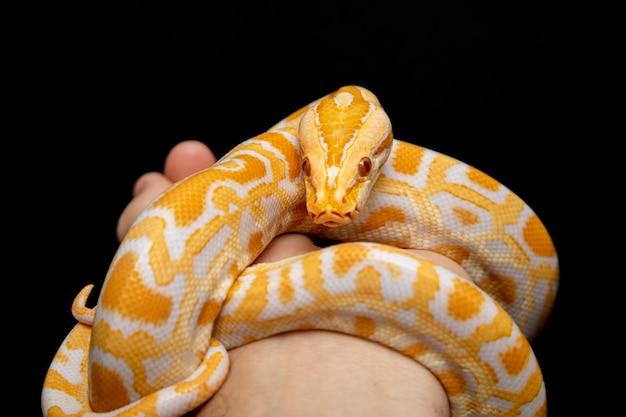 Python molurus bivitattus is one of the largest species of snakes.