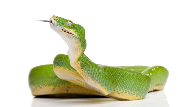 緑の木python下へ見ている-分離された白のモレリアviridis