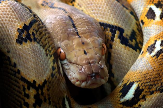 枝で眠っているニシキヘビ科のヘビ