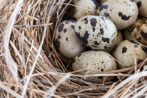 Quail eggs in a nest and laid out around it border