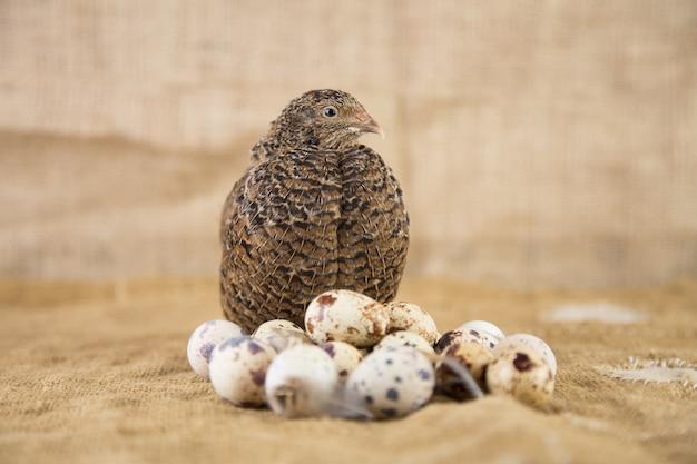 Яйца перепелов с птицей-матерью.