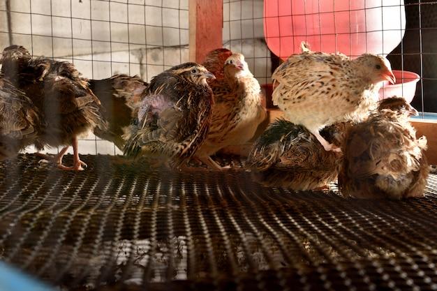 메 추 라 기 및 농장에 감 금 소에 계란
