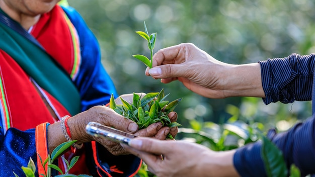 Quality check tea leaves in hand by smartphone