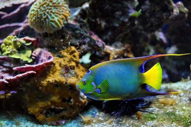 Королева-ангел holacanthus ciliaris, также известная как синий ангел, золотой ангел или желтая рыба-ангел в море