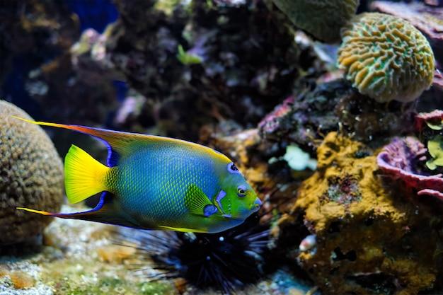 Королева ангелов holacanthus ciliaris также известна как голубая рыба-ангел, золотая рыба-ангел или желтый анг ...