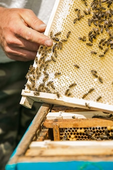 Queen of the bee. beekeeper taking out frame with honeycomb out of a beehive with bare hands. bees on honeycombs. frames of a bee hive.