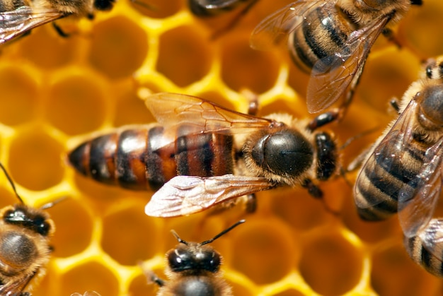 A queen bee with bees on a honeycomb.