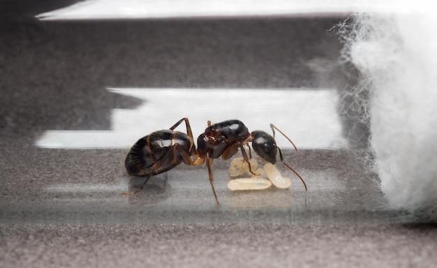 Queen carpenter ant to prevent eggs, larva