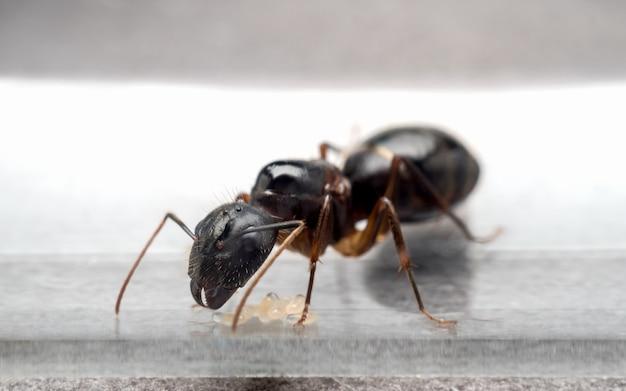 Queen carpenter ant to prevent eggs