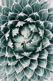 Queen victoria agave in pale tone