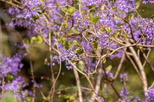 여왕 화환 petrea volubilis 종의 꽃
