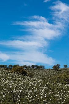 Quercus ilex landscape