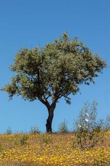 Quercus ilex tree