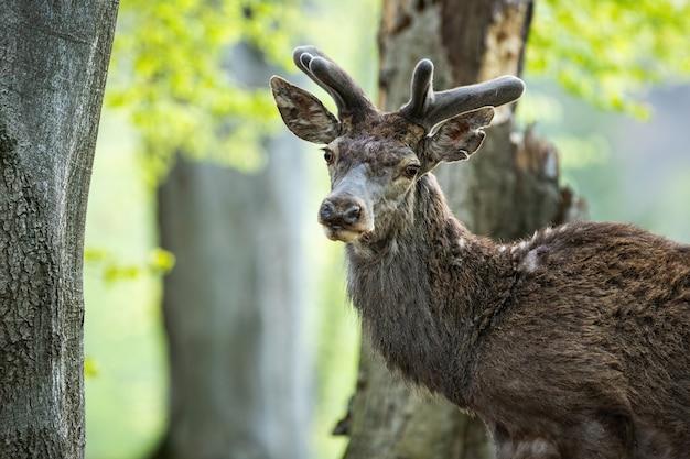Тихий олень оленя перед камерой в лесу крупным планом в лесу весной